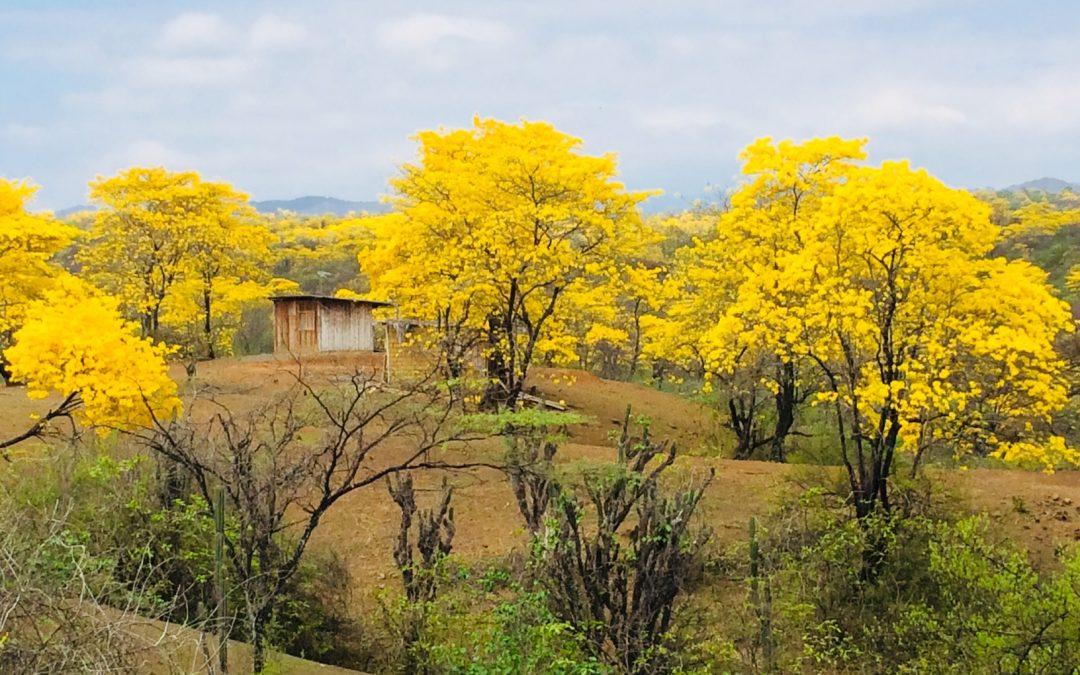Sector turístico se prepara para Florecimiento de los Guayacanes